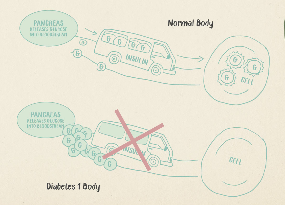 diagram explaining transport of insulin from the pancreas to the cell