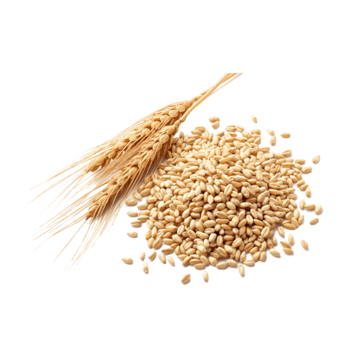 wheat grains and kernels